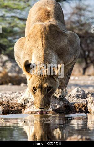 Lion (Panthera leo) boire à onkolo cacher, onguma game reserve, la Namibie, l'Afrique Banque D'Images
