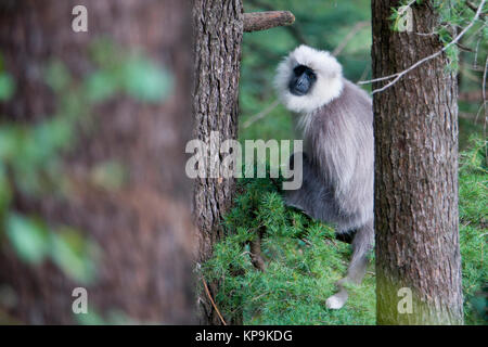 Cachemire gray langur (Semnopithecus ajax) monkey en forêt de cèdres Banque D'Images