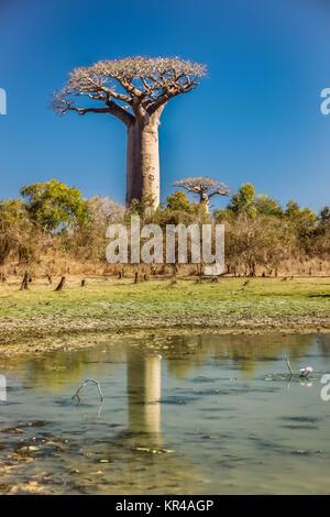 Réflexion Baobabs dans l'eau Banque D'Images