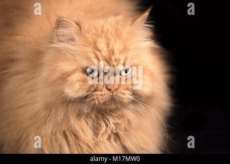 Portrait de chat Persan orange moelleux Banque D'Images