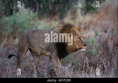 Un homme lion (Panthera leo) Patrouilles, Botswana, Africa Banque D'Images
