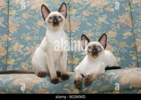 Deux chats Siamois seal point sur un canapé Banque D'Images