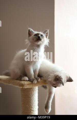 Portrait de deux longs cheveux blanc chats birman aux yeux bleus. Banque D'Images