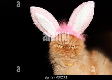 Portrait d'orange chat Persan avec oreilles de lapin Banque D'Images