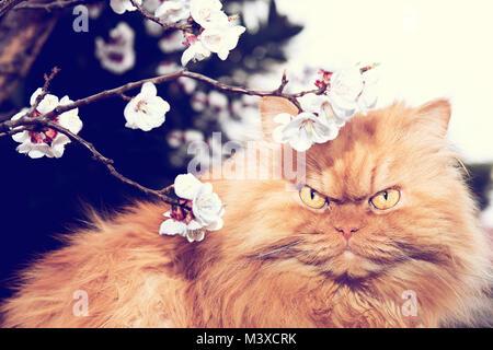 Chat persan orange avec arbre fleurit en printemps Banque D'Images