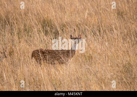 Sauvages adultes Chital ou spotted deer doe, Axis axis, reniflant l'air en Bandhavgarh National Park, Madhya Pradesh, Banque D'Images