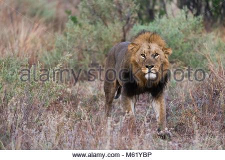 Un homme lion, Panthera leo, à patrouiller. Banque D'Images