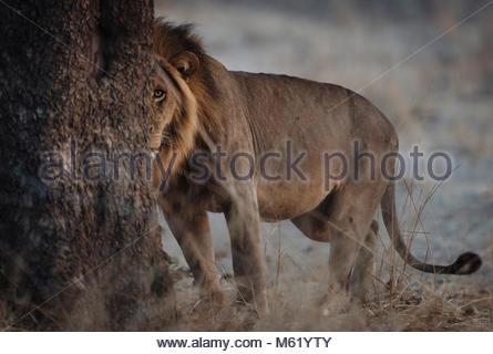Un homme Lion, Panthera leo, patrouiller tôt le matin dans la région de South Luangwa. Banque D'Images