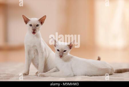 Siamese Cat. Deux jeunes assis et couché sur un tapis. Allemagne Banque D'Images