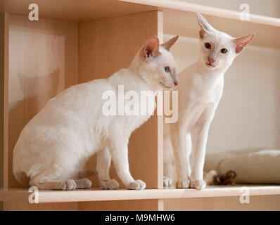 Siamese Cat. Deux jeunes assis sur une étagère. Allemagne Banque D'Images