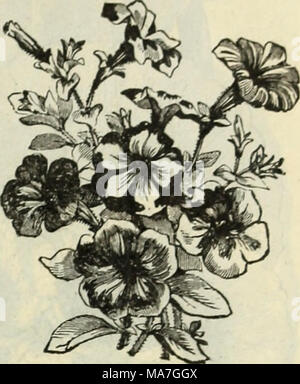 . E. H. Hunt: seedsman . Bordée DOUBLE PÉTUNIA. Les pétunias doubles. Qu'environ trente pour cent, des plantes obtenues à partir de graines de pétunia double produira des fleurs doubles. Bordée double. Mixte, grande fleur.. Double 50 Large-Flowering. Une souche splendide, avec tlowers de grande taille des plus belles nuances de pourpre, blanc, rose et bordeaux 25 J'^iliput Double Nain. Cette variété forme buissonnante des plantes qui sont couvertes de petites fleurs de charmantes couleurs, y compris, repéré et selfs blotched. Il fait une excellente plante en pot 25 seul pétunia. Variétés uniques. L'inimitable. Banque D'Images