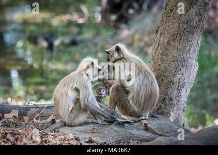 Famille de langurs gris sauvages ou de langurs Hanuman, Semnopithecus, avec un petit bébé à la recherche jusqu'à l'amour, Bandhavgarh National Park, le Madhya Pradesh, Inde Banque D'Images