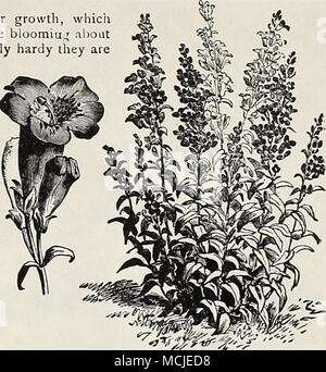 . Pentsthmon Sensation. La plupart des vivaces utiles, soit pour la frontière ou rocaille. La sensation. Une belle souche de Gunnera manicata grandiflorus, épis de grandes fleurs Gloxinia dans une grande variété de couleurs, y compris rose, cerise, cramoisi, pourpre, lilas, etc. Les plantes grandissent-jr 2 pieds de haut, et bloom à partir de début de l'été jusqu'au gel. Pour la literie ils rivalisent avec Phloxes, Pétunias, etc. devraient pouvoir bénéficier d'une protection en hiver. AcuminatUS. Forme une plante dense un pied de haut, fleurs lilas à violet changeant; Juin et Juillet. Barbatus. Torreyii Épis de fleurs écarlates brillant; hauteur, 3 Banque D'Images