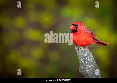 Le Cardinal rouge mâle perché sur une branche contre un arrière-plan flou Banque D'Images