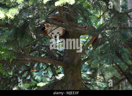 Le panda rouge dans l'arborescence Banque D'Images