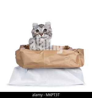 Smiling silver tortie American Curl cat kitten assis en arrière de stockage du papier avec une patte levée dans l'air isolé sur fond blanc et jusqu'à la Banque D'Images
