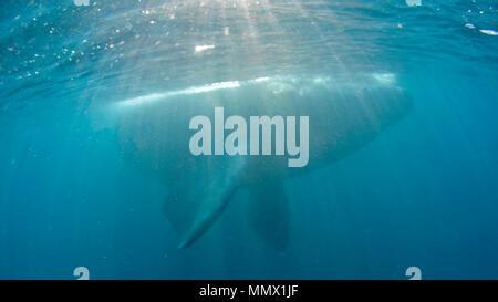 Baleine franche australe, Eubalaena australis, Coffee Bay, Eastern Cape, Afrique du Sud de la Côte sauvage, l'Océan Indien Banque D'Images