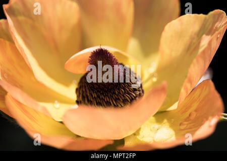 Close up of a yellow orange - Ranunculus asiaticus la floraison en mai dans un jardin Banque D'Images