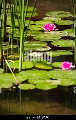 Lotus rose dans un fantastique jardin japonais Banque D'Images