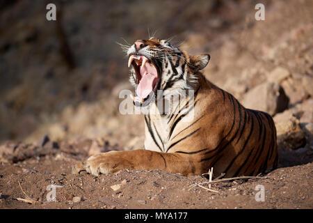 Tiger Cub Banque D'Images