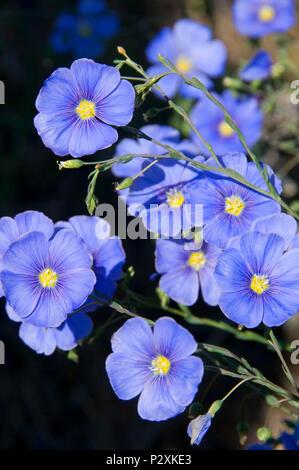 Fleurs bleues, Pine Creek Conservation Area, Voyage à travers le temps National Scenic Byway, Oregon Banque D'Images