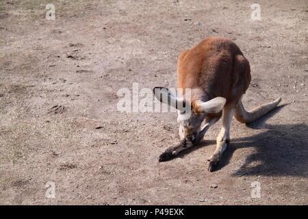 Joey kangourou rouge pattes toilettage (Macropus rufus) Banque D'Images