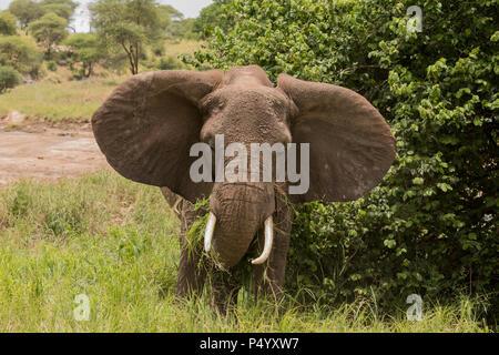 L'éléphant africain (Loxodonta africana) se nourrissent de la savane en parc national de Tarangire, Tanzanie Banque D'Images