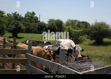 Scène d'été de l'amicale des vaches et des bovins à Glenview Park District travaille ferme Wagner dans la banlieue de Chicago, Illinois. Banque D'Images