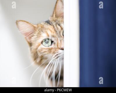 Un chat tabby shorthair domestique timide peeking autour d'un mur Banque D'Images