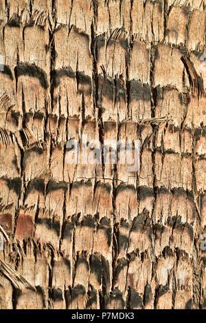 Close up detail de l'écorce du tronc de palmier tropical texture pattern Banque D'Images