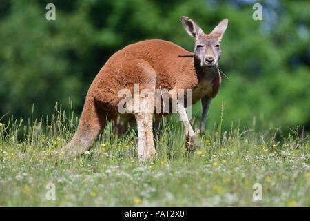 Portrait d'un kangourou rouge (Macropus rufus) dans un pré Banque D'Images