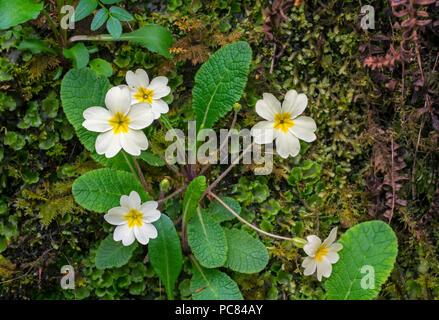 Primevère commune primevère Primula (anglais / vulgaris) en fleurs sur de la mousse recouverte au printemps rock Banque D'Images