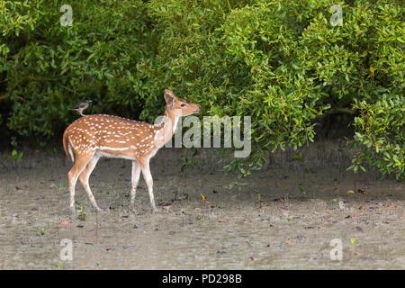 Spotted Deer ou Axix Axix ou Cheetal dans les mangroves des Sundarbans National Park, West Bengal, India Banque D'Images