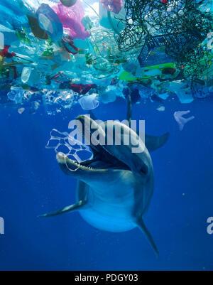 Grand dauphin commun jouant avec un six cannettes trouvés au milieu d'une grande plaque de déchets flottants en plastique. La consommation de plastique. Banque D'Images