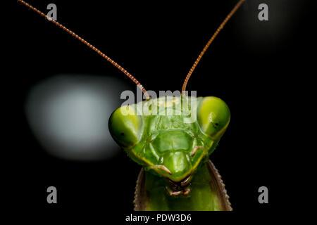 Le Mantis Macro, close-up Banque D'Images