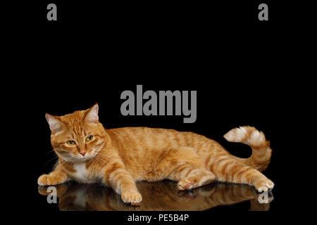 Lazy Cat Gingembre ressemble pitié et couché sur fond noir isolé miroir, soulevant paw Banque D'Images