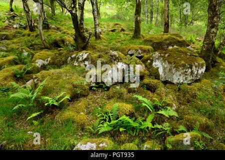 Des roches couvertes de mousses à Birch Tree Forest au pied de la montagne Ben Nevis à gorge Steall Highlands écossais Scotland UK Banque D'Images