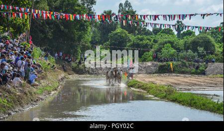 Chau Doc, Vietnam - Sep 3, 2017. Les vaches (ox) racing sur champ de riz à Chau Doc, le Vietnam. Le ox racing à Chau Doc, a une vieille tradition. Banque D'Images