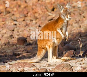 Jeune kangourou rouge, Macropus rufus,avec fourrure rouge vif sur l'âme de rouge aride outback australien au cours de la sécheresse au Culgoa Plaines National Park, Fl Banque D'Images