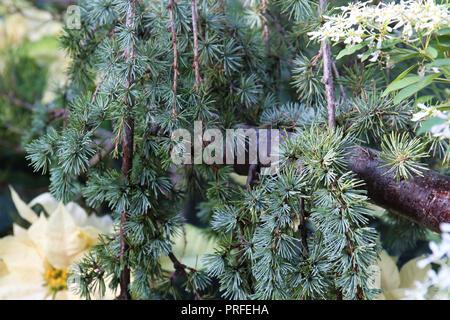 Close up d'un bleu pleureur arbre branches du cèdre de l'Atlas et des aiguilles Banque D'Images