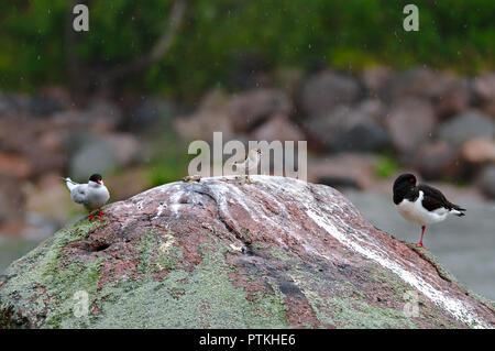 Trois différents oiseaux passer du temps ensemble sur un même rock Banque D'Images