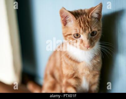 Adorable petit chaton gingembre assis contre un mur bleu à l'appareil photo, la profondeur de champ, dans la distance. Banque D'Images