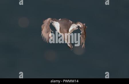 Paysage détaillé, Close up of hot guillemot (Uria aalge) en vol au dessus de la mer bleu foncé, les ailes de vol libre dans la brise, transport du poisson dans son bec. Banque D'Images
