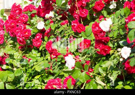 Les roses rouges avec des feuilles vertes, un cadeau parfait pour une femme pour toute occasion. Vue de luxe sur une journée d'été .pour votre conception Banque D'Images