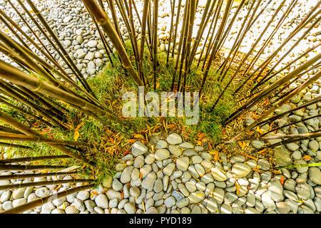 Bamboo croissant dans le jardin tropical de Monte Palace sur Maderia - Portugal Banque D'Images