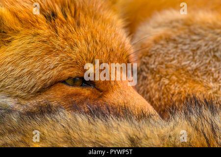Portrait du chef de l'Repos red fox (Vulpes vulpes). Les renards roux sont adaptables et omnivores opportunistes et sont capables de réussir à Banque D'Images