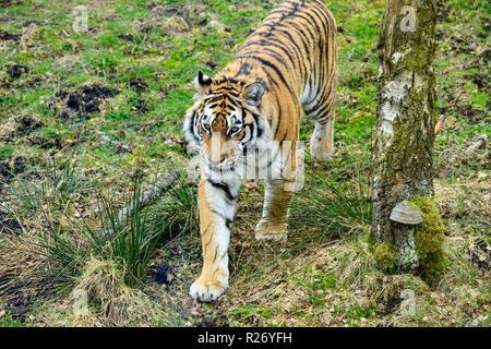 Amur tiger (Panthera tigris altaica) l'origine connu sous le nom de tigre de Sibérie, Highland Wildlife Park, le Kincraig, Kingussie, Scotland, UK Banque D'Images