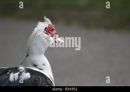 Le canard de Barbarie est un oiseau originaire de vraiment intéressant à l'hémisphère sud qu'on appelle communément un canard, mais en fait, c'est une espèce différente de la famille canard colvert... Banque D'Images