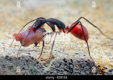 Ant (Dinomyrmex forêt géant gigas) transportant de la nourriture. Banque D'Images