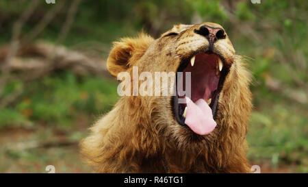 Lionne dents dangereux affiche lors d'une faible averse - Parc National Kruger - 2018 Banque D'Images